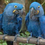 Blue and Beautiful in the Amazon