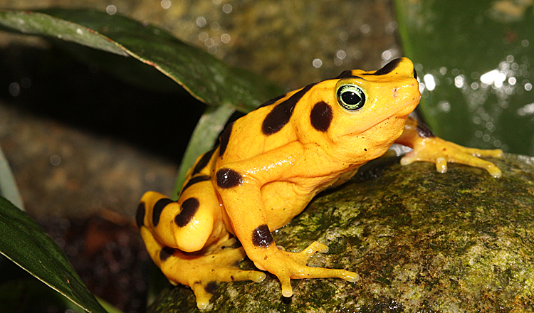 In A Race Against Extinction Panamanian Golden Frogs