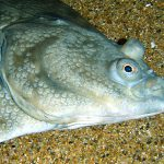 The Story of Atlantic Halibut