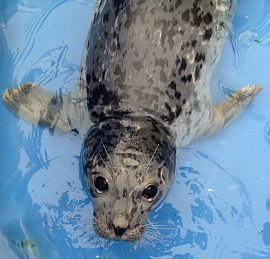 Rescued harbour seal pup Lynx at the Rescue Centre.