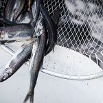"Eulachon and You: Why the ""Savior Fish"" Still Matters"