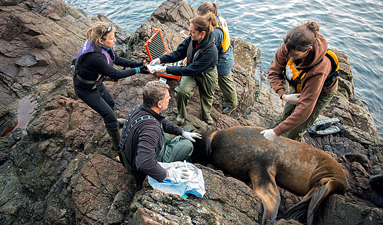 The Aquarium's Marine Mammal Rescue Team work to disentangle debris from a sea lion.