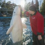 What it Takes to Create a Beluga Show