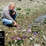 Sea Star Wasting Syndrome: Gulf Islands and Saanich Inlet