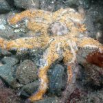 It Takes Many Heads to Save Sea Stars