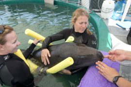 False Killer Whale Rescue at Vancouver Aquarium