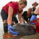 The Rescue of a False Killer Whale Calf