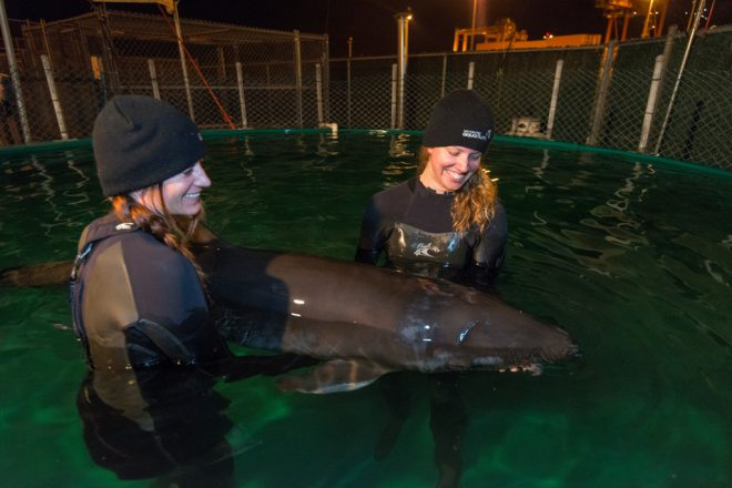 Marine Mammal Rescue Centre, Stranded False Killer Whale