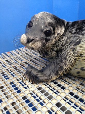 Rescued Seal Pup, Vancouver Aquarium Marine Mammal Rescue Centre