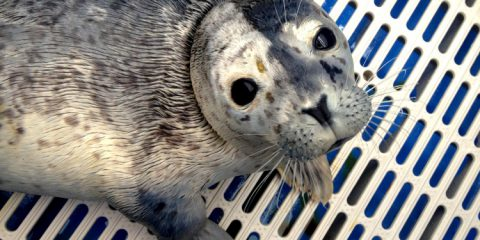 Seal rescue and release at the Vancouver Aquarium