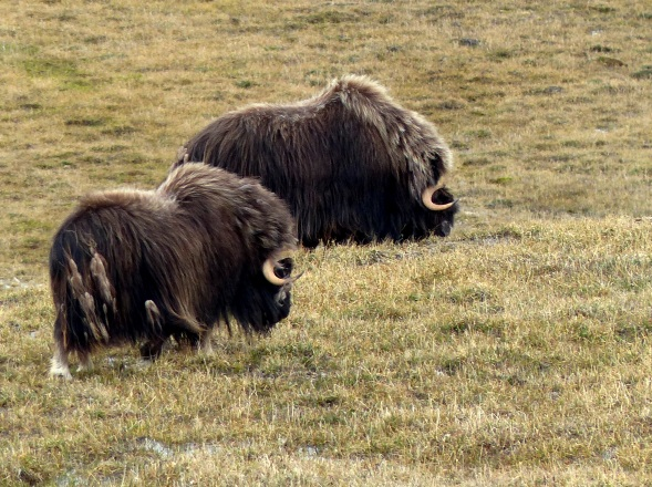 Muskoxen in the Arctic.