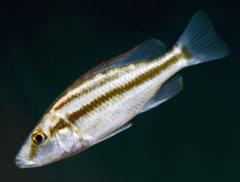 resize thumbnail Dimidiochromis compressiceps-juv-12Jun'14-4549-adj_Neil Fisher