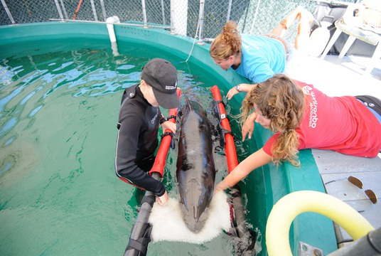 False killer whale rescue