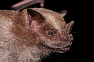 Jamacian Fruit Bat
