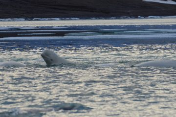 Beluga whale research in Cunningham Inlet