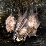 Super Fruit Fans: Meet the Jamaican Fruit Bat