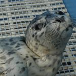 "Meet ""Pr"", the 100th Seal Pup Rescue of 2014"