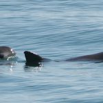 Research Needed to Save Endangered Vaquita