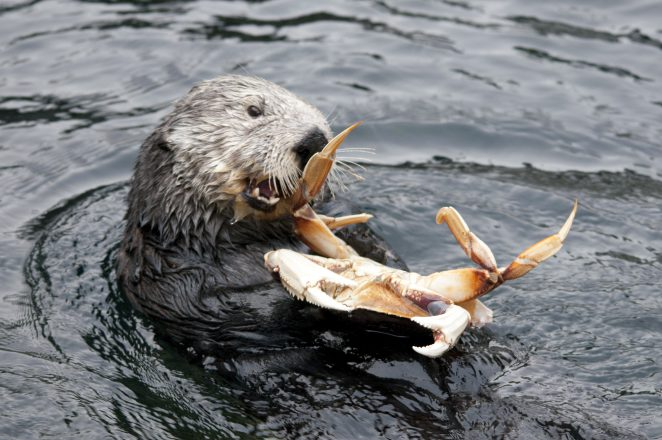 Sea otter eating a crab at the Vancouver Aquarium