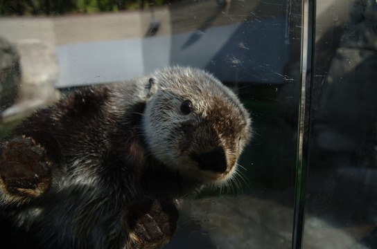 Elfin, a sea otter at the Vancouver Aquarium