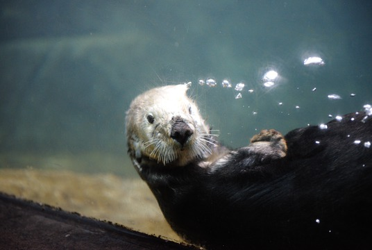 Sea otter week at the Vancouver Aquarium