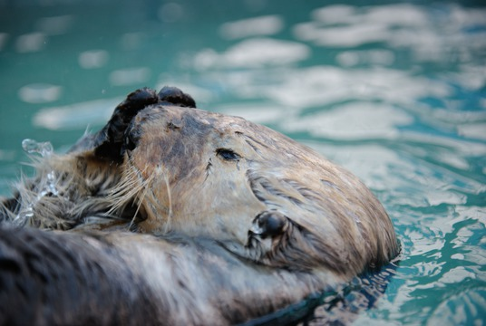 Wally, rescued sea otter, Vancouver Aquarium