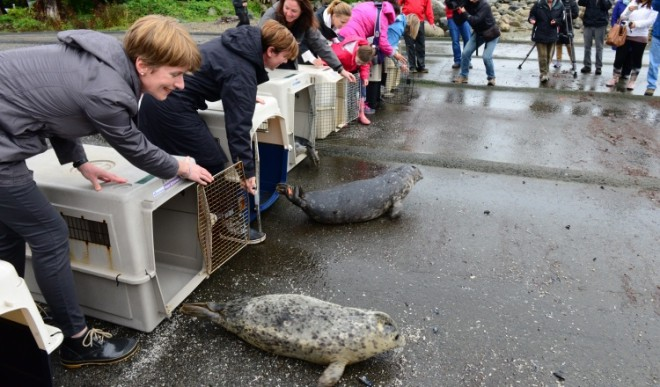 Seal release by Vancouver Aquarium