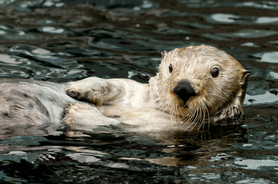 Sea otters in the water at the Vancouver Aquarium