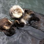 The Sea Otters of Vancouver Aquarium