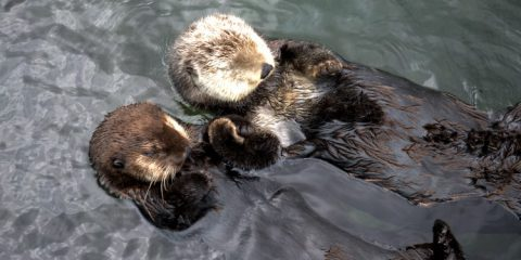 Sea otters holding hands at the Vancouver Aquarium