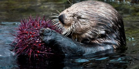 Vancouver Aquarium sea otter eats sea urchin