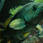 Video Updates from 2014 Annual Rockfish Survey