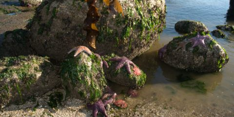 Sea star wasting disease