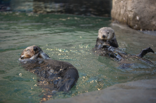 Sea otters at the Vancovuer Aquarium