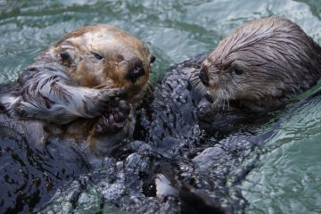 Vancouver Aquarium rescued sea otter Wally