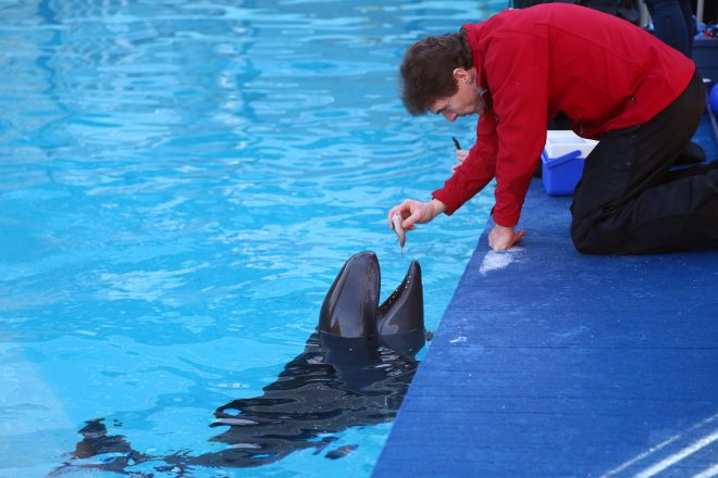 Chester, rescued false killer whale.