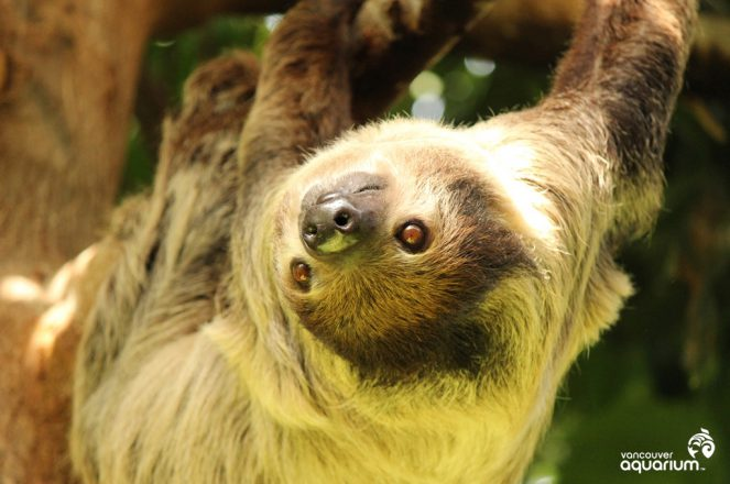 The ultimate energy-savers, sloths can snooze for up to 20 hours a day.