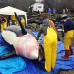Death of a Killer Whale