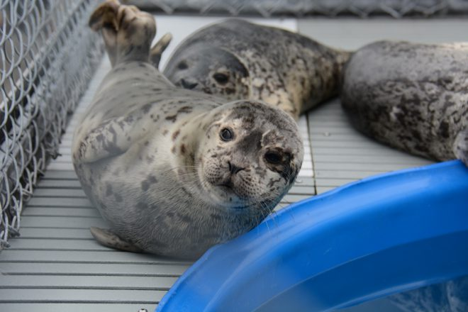 Seal rescue at Vancouver Aquarium