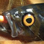 The Rockfish with the Fake Eye