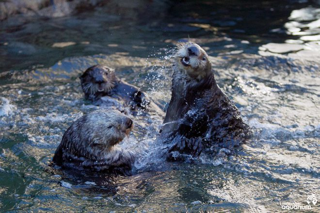 Rescued sea otters