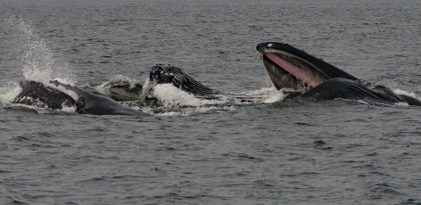 Sightings Network spots Humpback whales in B.C.