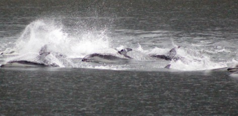 Dolphins and whales near Squamish