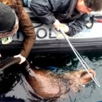 Sea Lion Rescue Extends to At-Risk Stellers