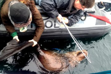 Sea lion disentanglement project at Vancouver Aquarium