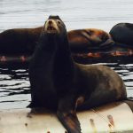 Saving Sea Lions from Marine Debris in Fanny Bay