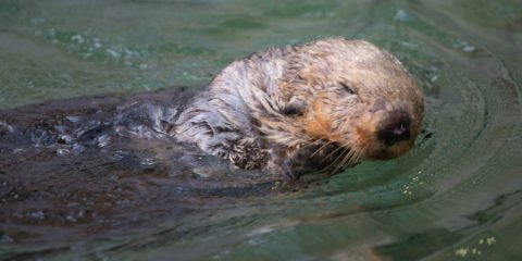 Donate to Wally the sea otter today