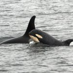 Newborn Killer Whales Spotted off B.C. Coast