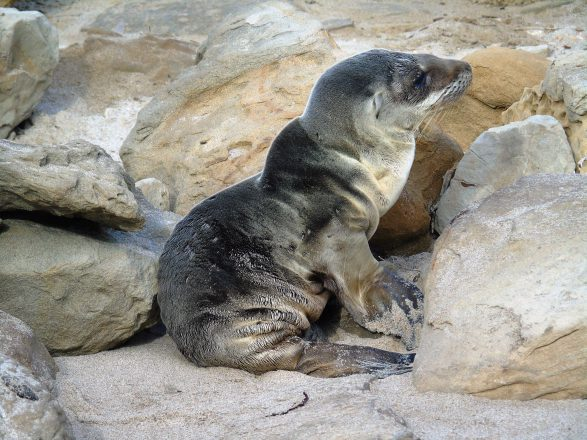 Sea lion crisis in California