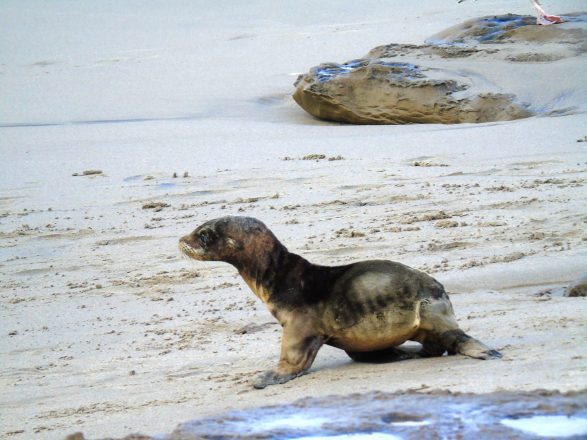 Sea lions strandings in California